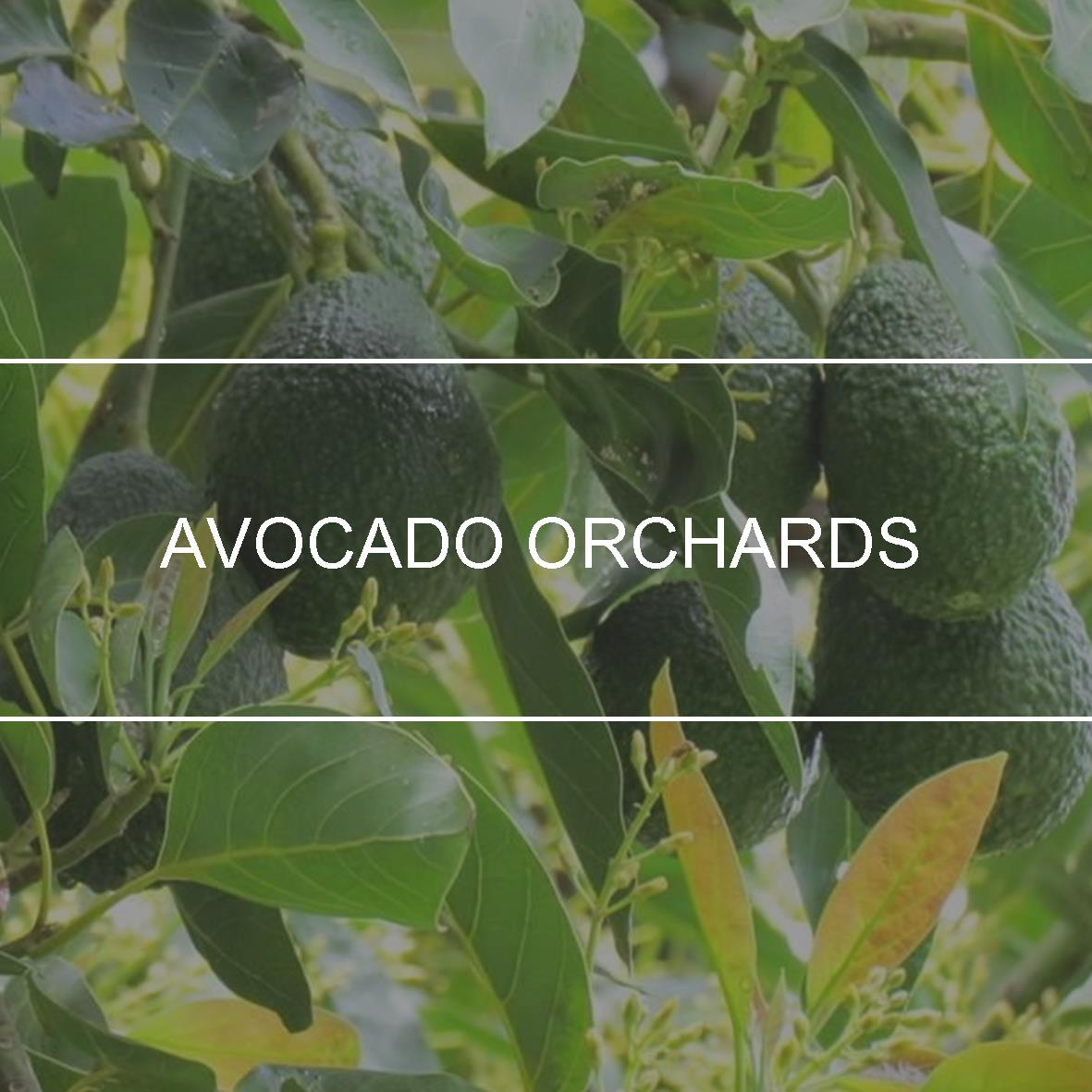 product_header_avocado
