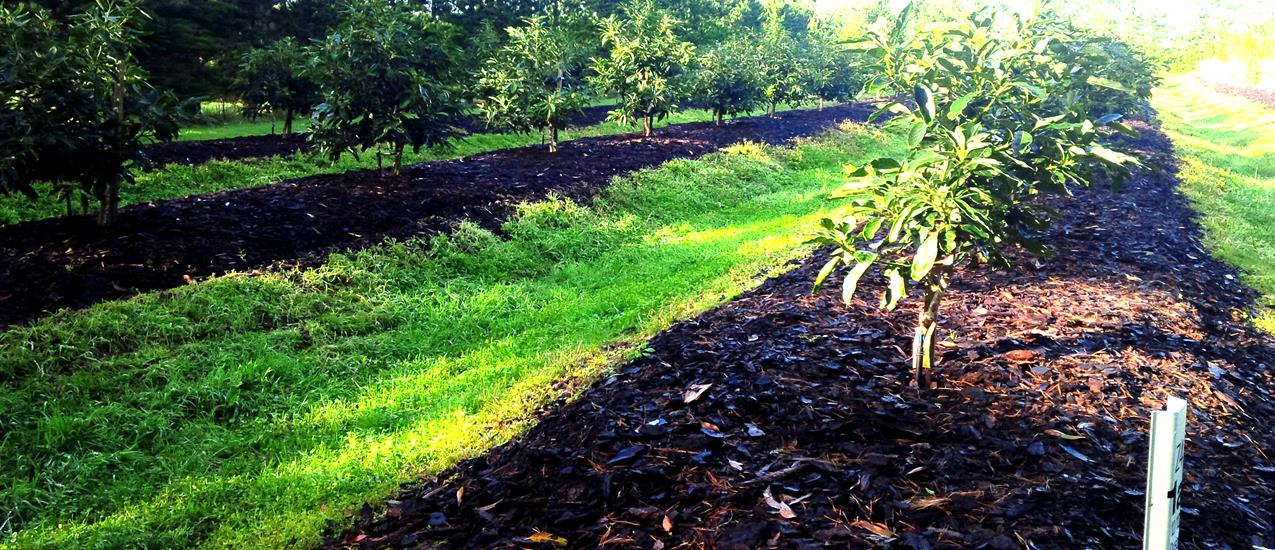 Landscape Supply Co >> AVOCADO ORCHARD - Kerigreen Landscape SuppliesKerigreen Landscape Supplies